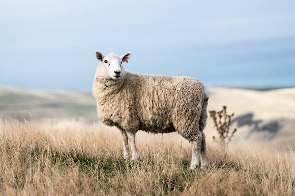 lammeskind og fåreskind
